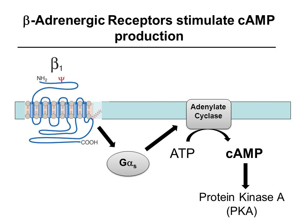 -Adrenergic Receptors stimulate cAMP production GsGs GsGs Adenylate Cyclase cAMPATP Protein Kinase A (PKA)