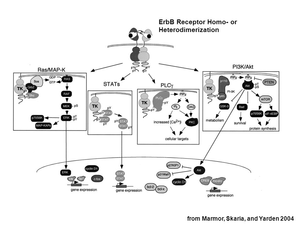 from Marmor, Skaria, and Yarden 2004 ErbB Receptor Homo- or Heterodimerization