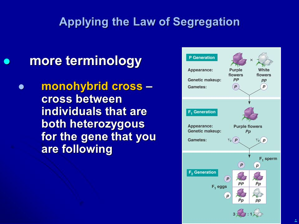 . Applying the Law of Segregation more terminology more terminology monohybrid cross – cross between individuals that are both heterozygous for the gene that you are following monohybrid cross – cross between individuals that are both heterozygous for the gene that you are following