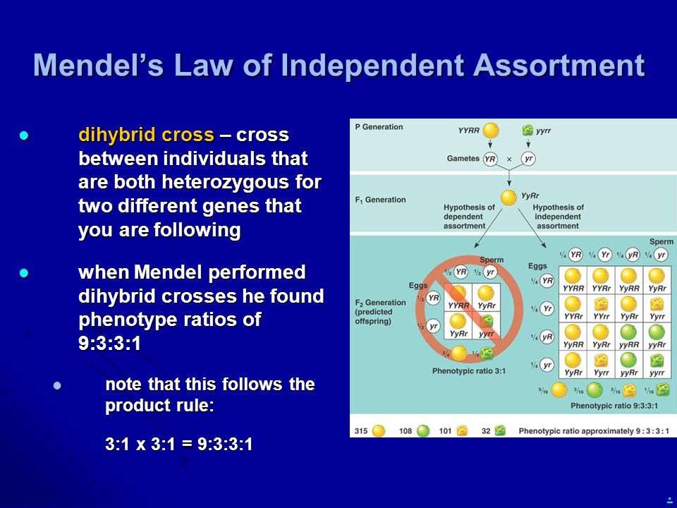 . Mendel's Law of Independent Assortment dihybrid cross – cross between individuals that are both heterozygous for two different genes that you are fo