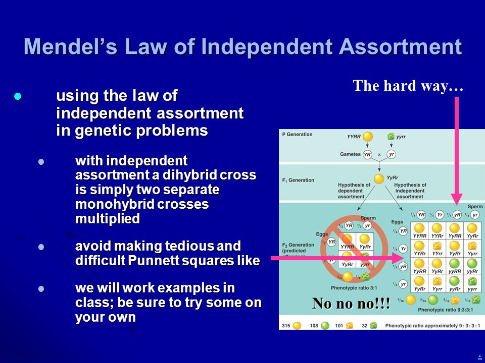 . Mendel's Law of Independent Assortment using the law of independent assortment in genetic problems using the law of independent assortment in genetic problems with independent assortment a dihybrid cross is simply two separate monohybrid crosses multiplied with independent assortment a dihybrid cross is simply two separate monohybrid crosses multiplied avoid making tedious and difficult Punnett squares like avoid making tedious and difficult Punnett squares like we will work examples in class; be sure to try some on your own we will work examples in class; be sure to try some on your own The hard way… No no no!!!