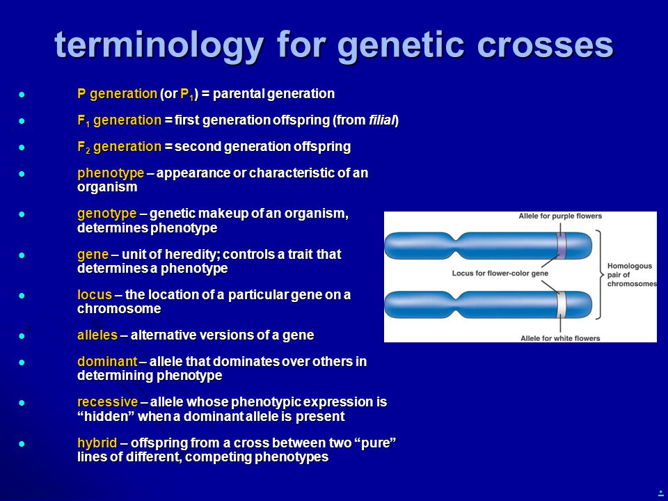 . terminology for genetic crosses P generation (or P 1 ) = parental generation P generation (or P 1 ) = parental generation F 1 generation = first generation offspring (from filial) F 1 generation = first generation offspring (from filial) F 2 generation = second generation offspring F 2 generation = second generation offspring phenotype – appearance or characteristic of an organism phenotype – appearance or characteristic of an organism genotype – genetic makeup of an organism, determines phenotype genotype – genetic makeup of an organism, determines phenotype gene – unit of heredity; controls a trait that determines a phenotype gene – unit of heredity; controls a trait that determines a phenotype locus – the location of a particular gene on a chromosome locus – the location of a particular gene on a chromosome alleles – alternative versions of a gene alleles – alternative versions of a gene dominant – allele that dominates over others in determining phenotype dominant – allele that dominates over others in determining phenotype recessive – allele whose phenotypic expression is hidden when a dominant allele is present recessive – allele whose phenotypic expression is hidden when a dominant allele is present hybrid – offspring from a cross between two pure lines of different, competing phenotypes hybrid – offspring from a cross between two pure lines of different, competing phenotypes