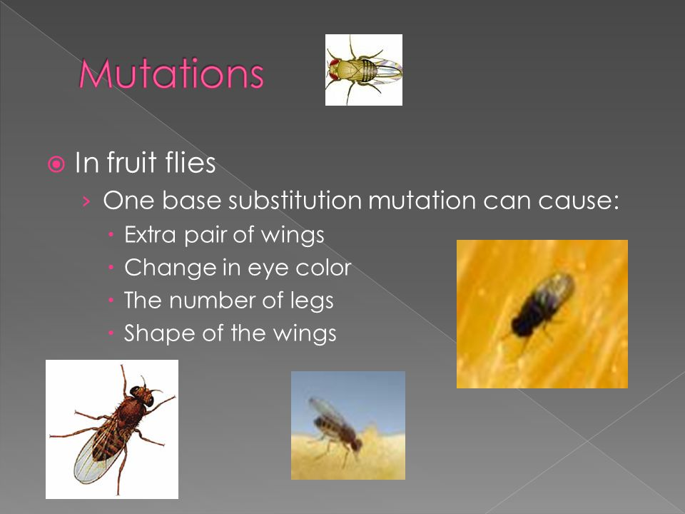  In fruit flies › One base substitution mutation can cause:  Extra pair of wings  Change in eye color  The number of legs  Shape of the wings