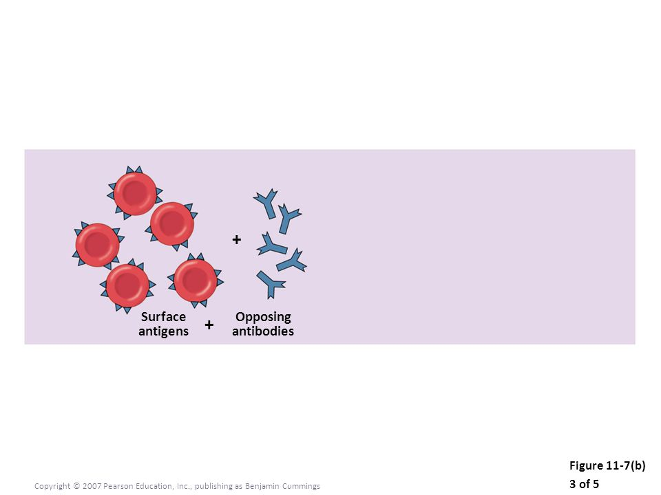 Figure 11-7(b) 3 of 5 Copyright © 2007 Pearson Education, Inc., publishing as Benjamin Cummings Surface antigens Opposing antibodies + +