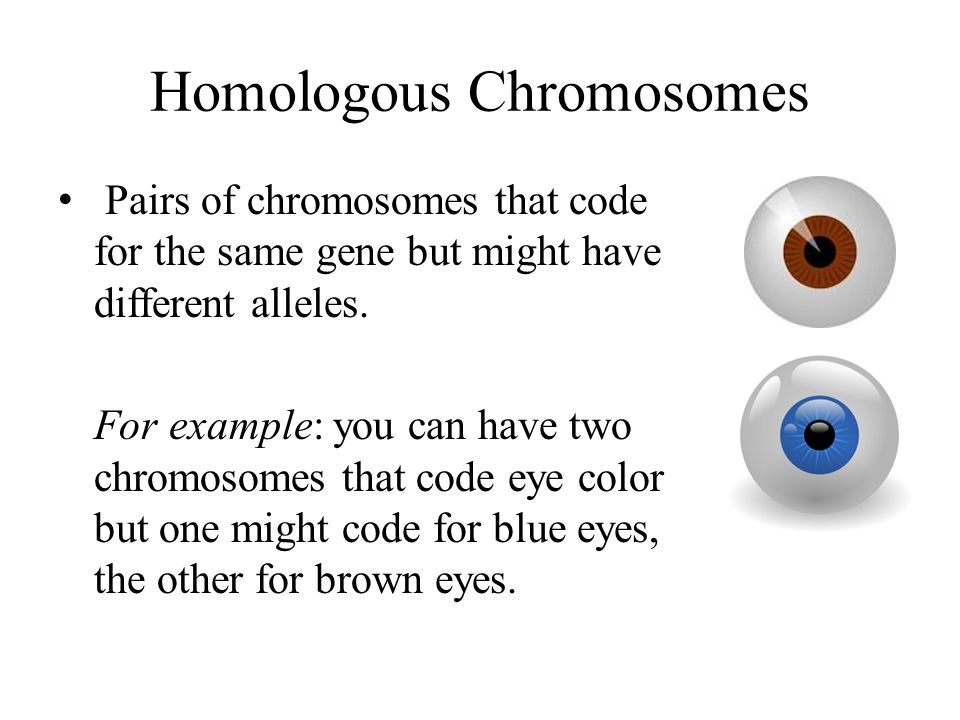 Homologous Chromosomes Pairs of chromosomes that code for the same gene but might have different alleles.