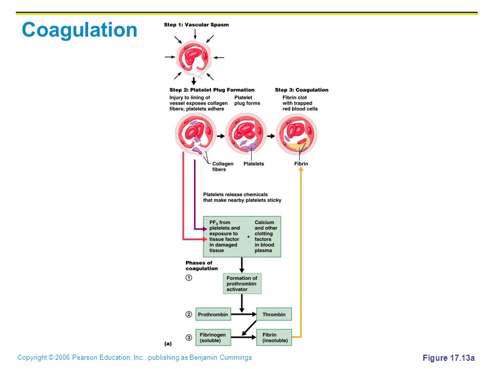 Copyright © 2006 Pearson Education, Inc., publishing as Benjamin Cummings Coagulation Figure 17.13a