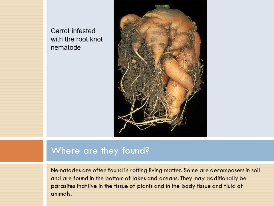Nematodes are often found in rotting living matter.