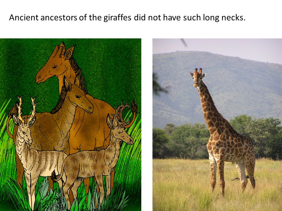 Among the precursors of giraffes, there was variation in neck length.