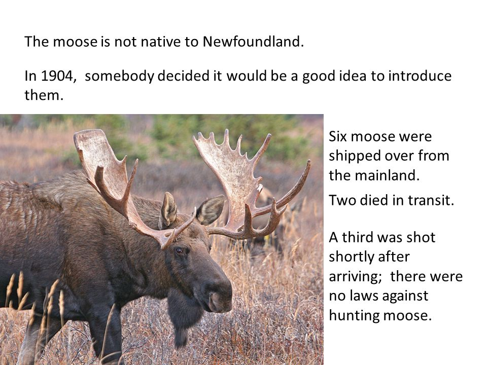 The moose is not native to Newfoundland. In 1904, somebody decided it would be a good idea to introduce them. Six moose were shipped over from the mai