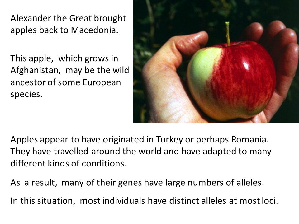 Alexander the Great brought apples back to Macedonia. This apple, which grows in Afghanistan, may be the wild ancestor of some European species. Apple