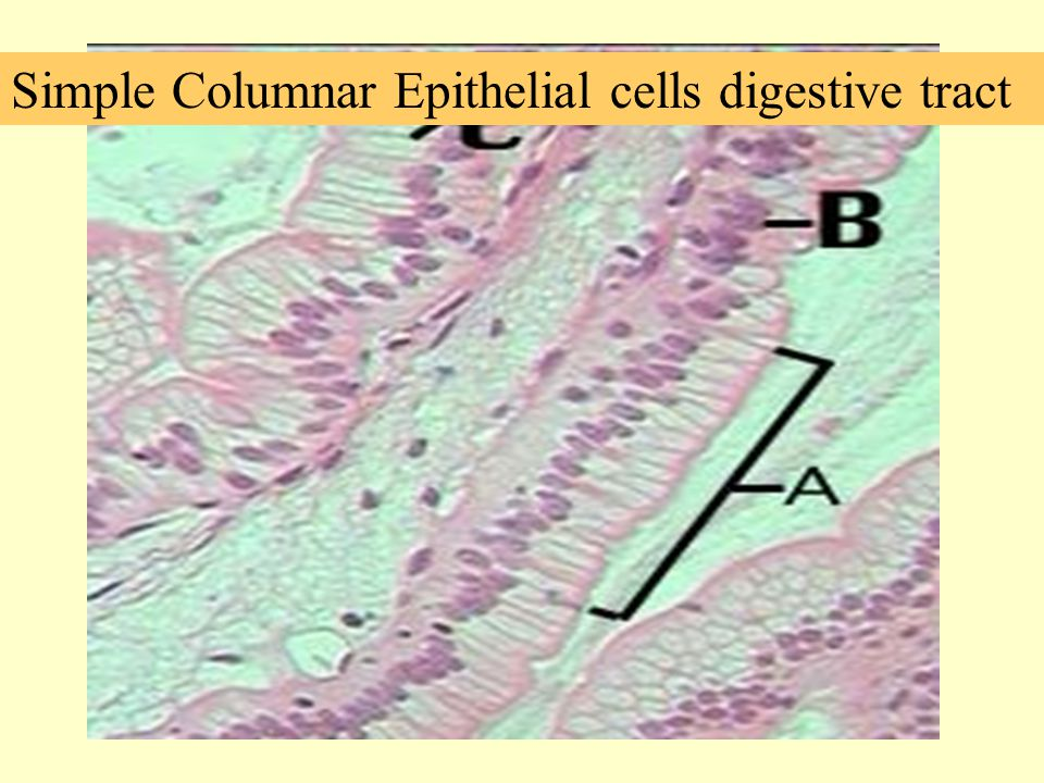 Simple Columnar Epithelial cells digestive tract