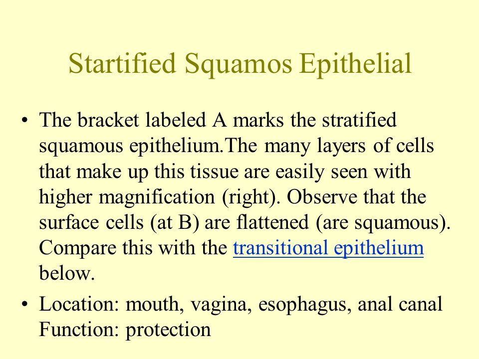 Startified Squamos Epithelial The bracket labeled A marks the stratified squamous epithelium.The many layers of cells that make up this tissue are easily seen with higher magnification (right).
