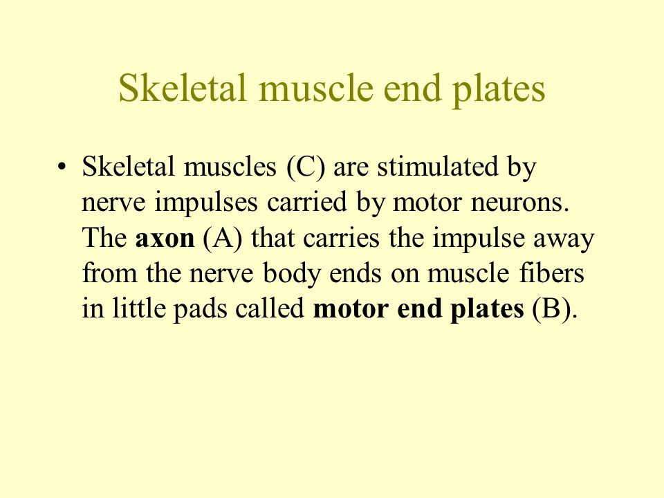 Skeletal muscle end plates Skeletal muscles (C) are stimulated by nerve impulses carried by motor neurons.