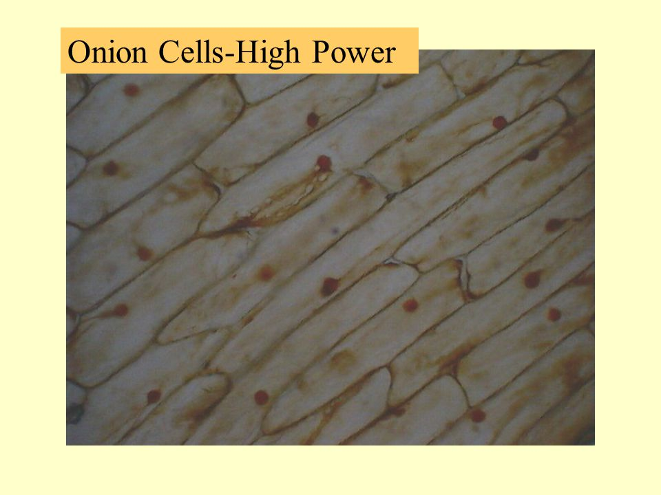 Onion Cells-High Power