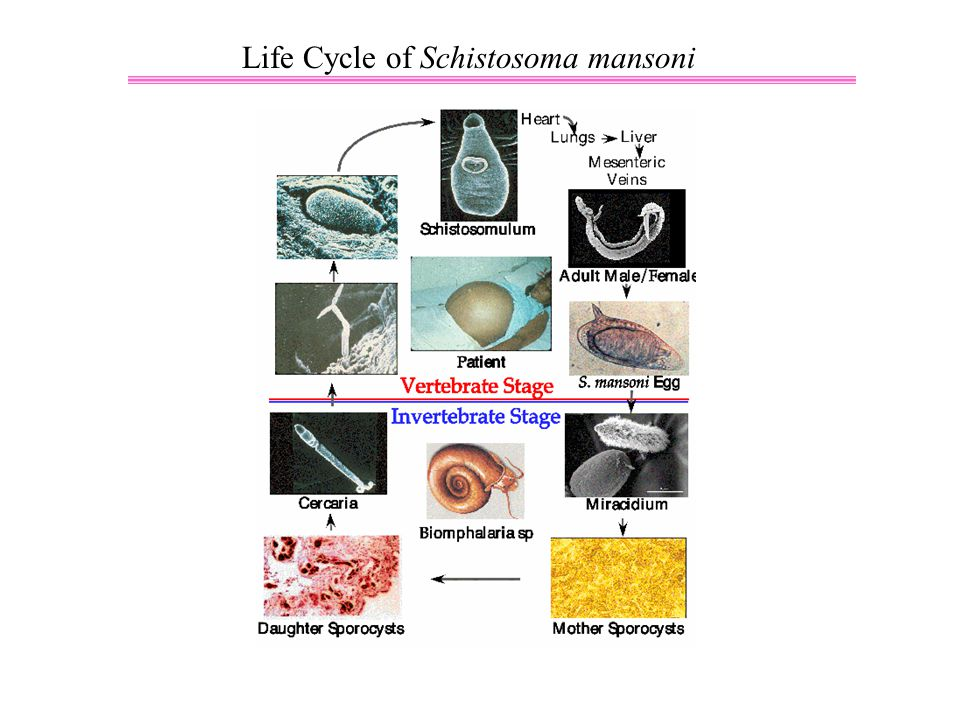 Life Cycle of Schistosoma mansoni