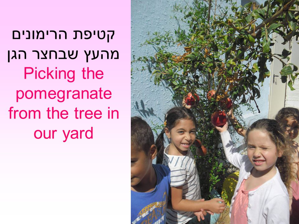 קטיפת הרימונים מהעץ שבחצר הגן Picking the pomegranate from the tree in our yard