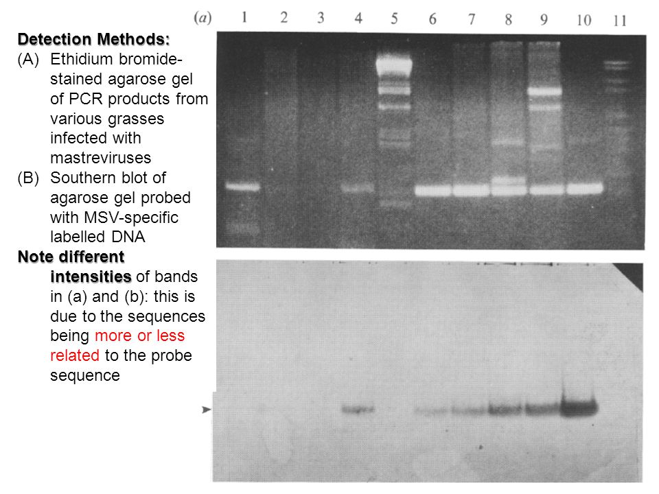 Detection Methods: (A)Ethidium bromide- stained agarose gel of PCR products from various grasses infected with mastreviruses (B)Southern blot of agarose gel probed with MSV-specific labelled DNA Note different intensities Note different intensities of bands in (a) and (b): this is due to the sequences being more or less related to the probe sequence