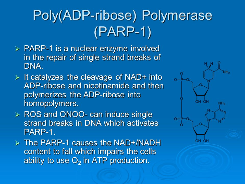 Poly(ADP-ribose) Polymerase (PARP-1)  PARP-1 is a nuclear enzyme involved in the repair of single strand breaks of DNA.  It catalyzes the cleavage o