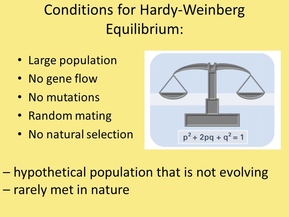 Conditions for Hardy-Weinberg Equilibrium: Large population No gene flow No mutations Random mating No natural selection – hypothetical population tha
