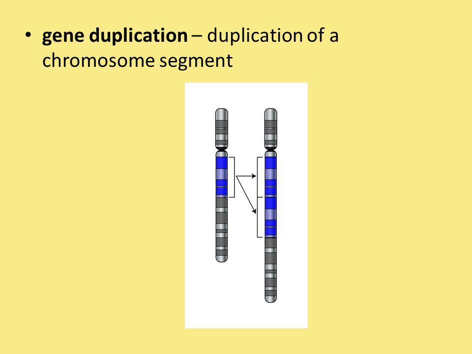 gene duplication – duplication of a chromosome segment