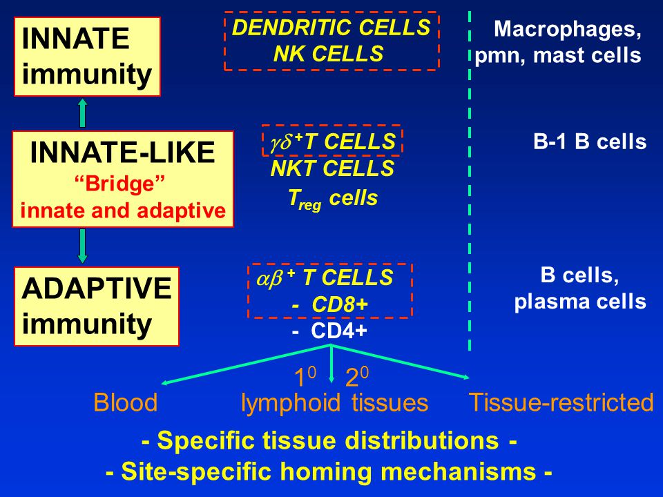 ADAPTIVE immunity  + T CELLS - CD8+ - CD4+ B cells, plasma cells INNATE-LIKE Bridge innate and adaptive  + T CELLS NKT CELLS T reg cells B-1 B cells - Specific tissue distributions - - Site-specific homing mechanisms - Blood 1 0 2 0 lymphoid tissues Tissue-restricted INNATE immunity DENDRITIC CELLS NK CELLS Macrophages, pmn, mast cells