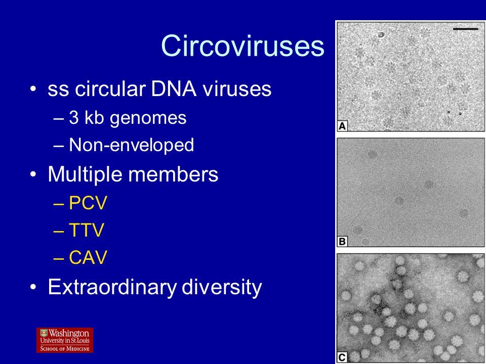 Circoviruses ss circular DNA viruses –3 kb genomes –Non-enveloped Multiple members –PCV –TTV –CAV Extraordinary diversity