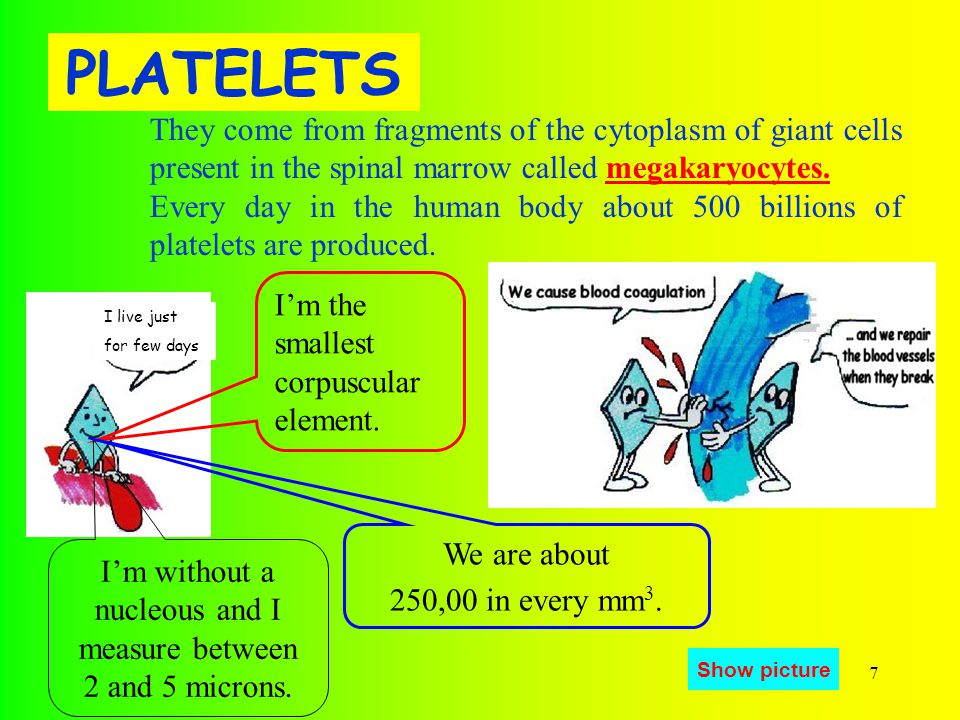7 PLATELETS They come from fragments of the cytoplasm of giant cells present in the spinal marrow called megakaryocytes.