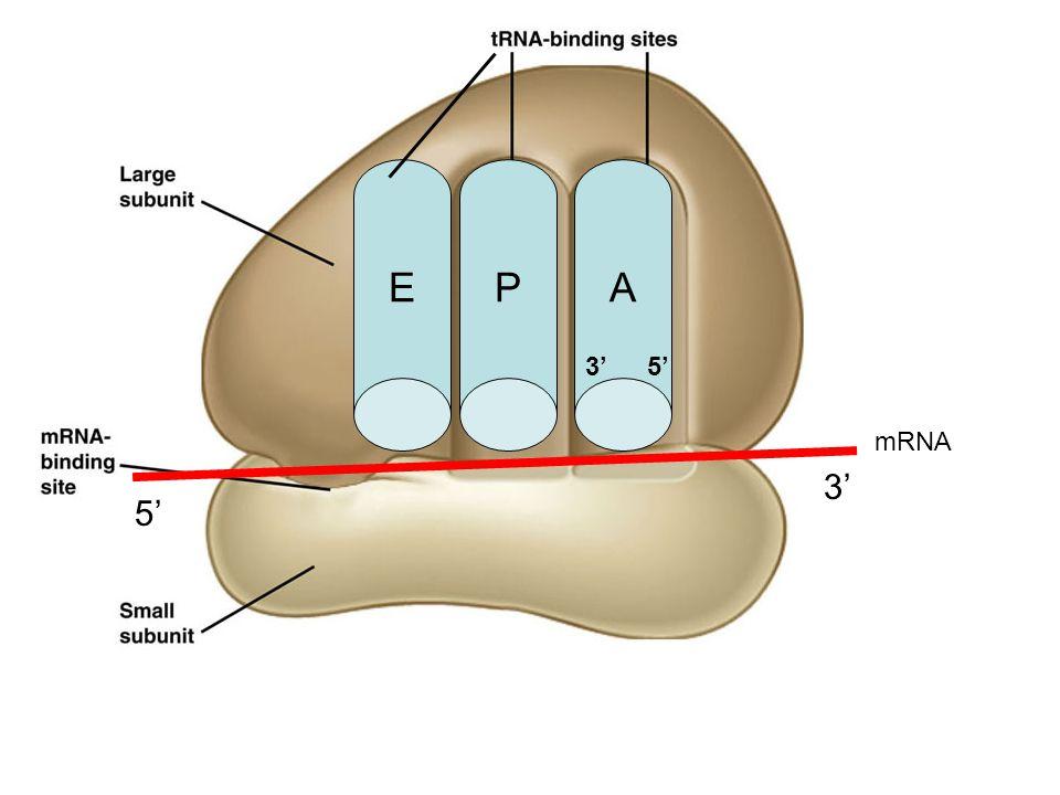 EPA 5' 3' mRNA