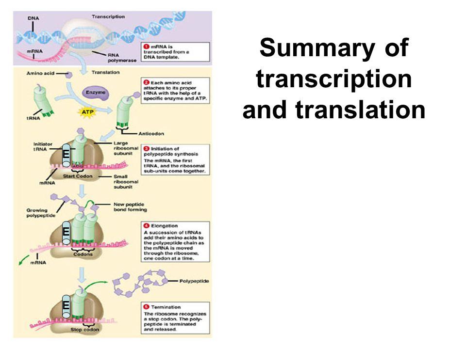 Summary of transcription and translation E E E