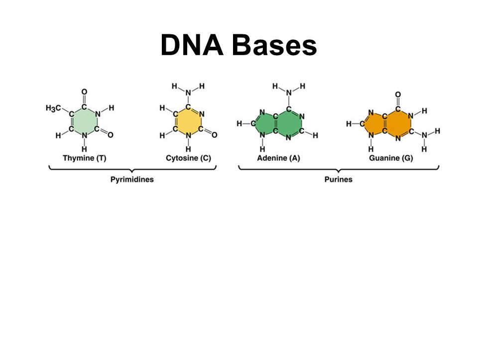 RNA Nucleotides 1 phosphate group 1 ribose sugar 1 nitrogenous base (A, C, G, or U) Uracil replaces thymine in RNA