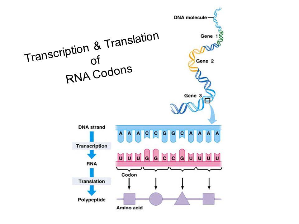 Transcription & Translation of RNA Codons