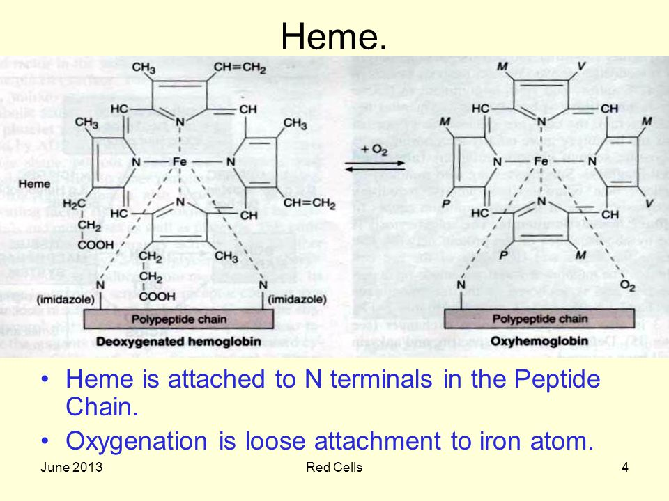 June 2013Red Cells4 Heme. Heme is attached to N terminals in the Peptide Chain. Oxygenation is loose attachment to iron atom.