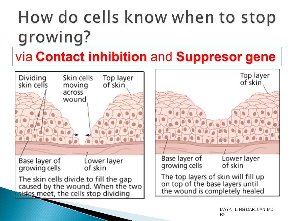 MAYA FE NG-DARJUAN MD- RN Contact inhibition Suppresor gene via Contact inhibition and Suppresor gene