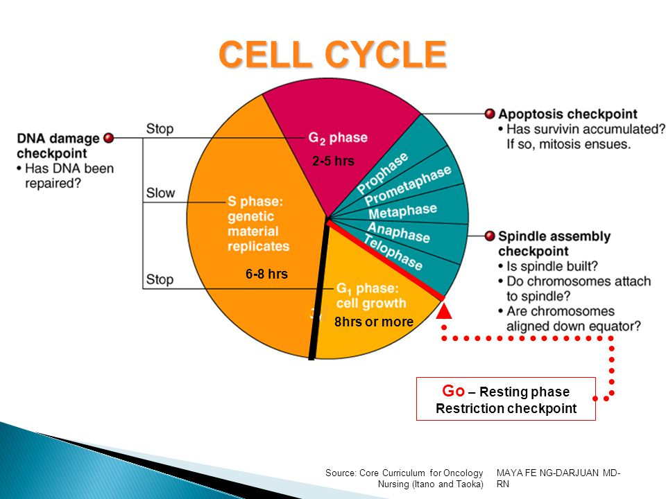 MAYA FE NG-DARJUAN MD- RN Source: Core Curriculum for Oncology Nursing (Itano and Taoka) CELL CYCLE Go – Resting phase Restriction checkpoint 8hrs or