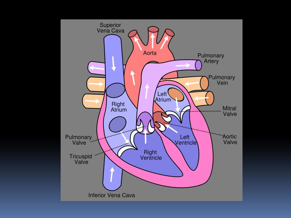 Aorta Pulmonary artery Pulmonary Valve Pulmonary vein Left Atrium Mitral Valve Left Ventricle Septum Right Ventricle Inferior Vena Cava Tricuspid Valv