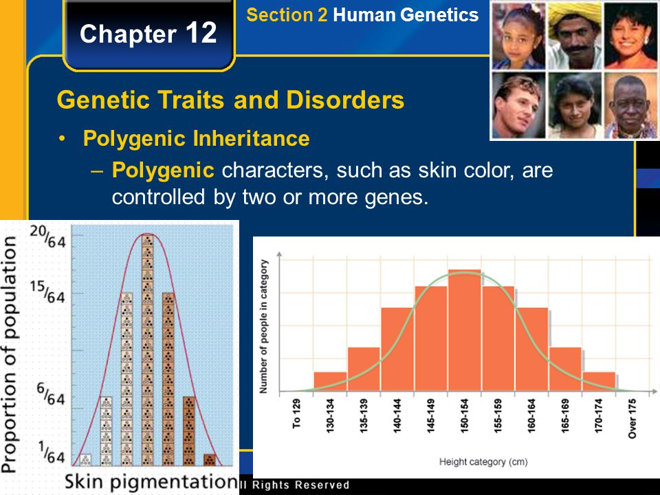 Section 2 Human Genetics Chapter 12 Genetic Traits and Disorders Polygenic Inheritance –Polygenic characters, such as skin color, are controlled by tw