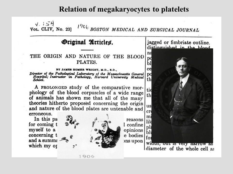 Relation of megakaryocytes to platelets