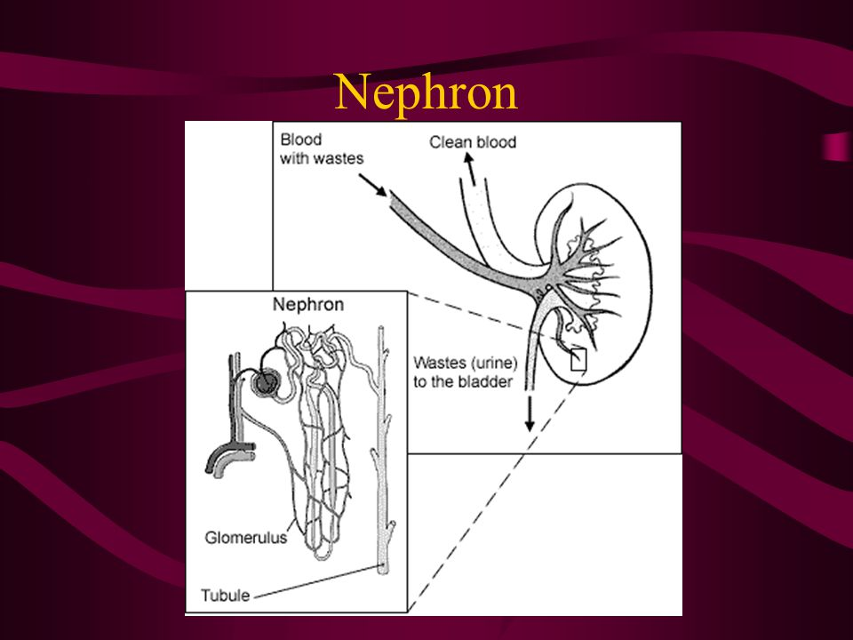 Spermat/o, Sperm/o(i) = Sperm Sperm, spermatozoa, male germ cells Sperma = Seed Spermat/o/genesis: formation of sperm Destruction of spermatozoa –Sperm/o/lysis, Spermat/o/lysis An Immature sperm cell –Sperm/o/blast, Spermat/o/blast