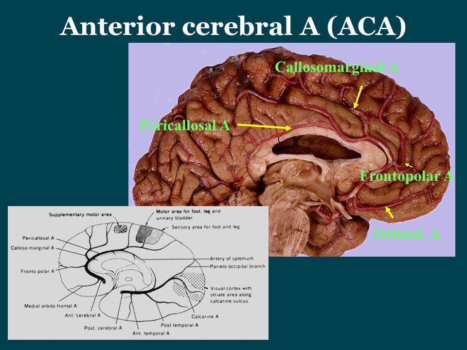 Anterior cerebral A (ACA) Pericallosal A Callosomarginal A Frontopolar A Orbital A