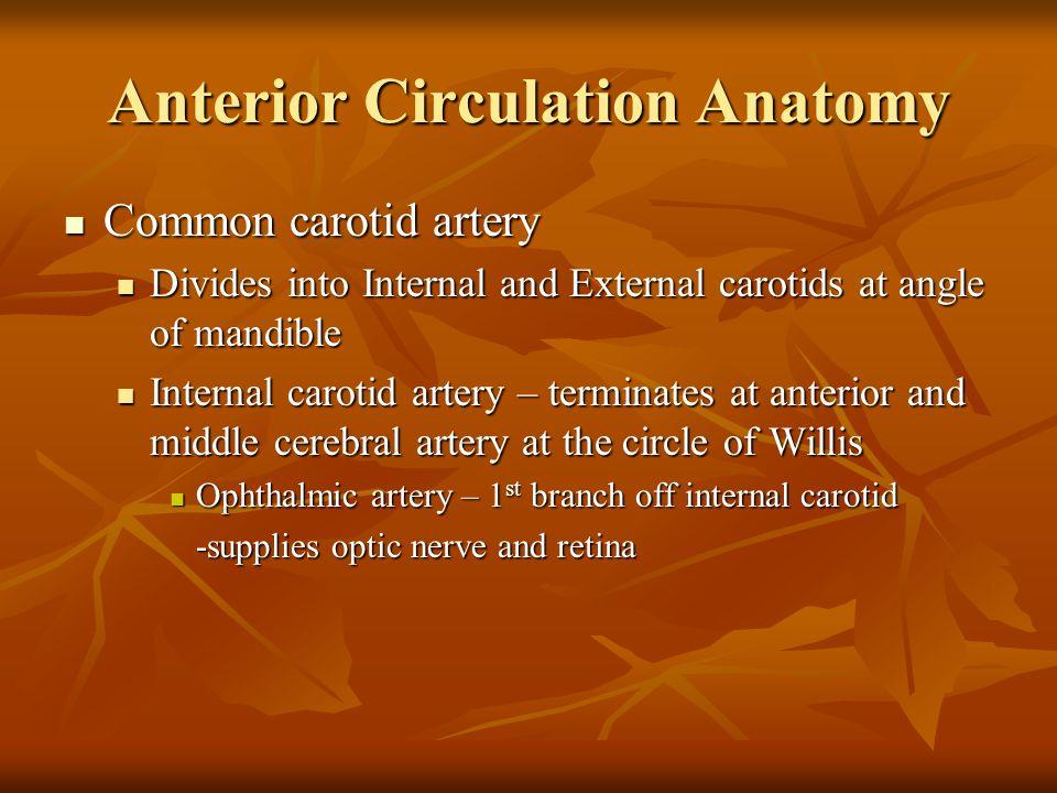 Anterior Circulation Anatomy Common carotid artery Common carotid artery Divides into Internal and External carotids at angle of mandible Divides into