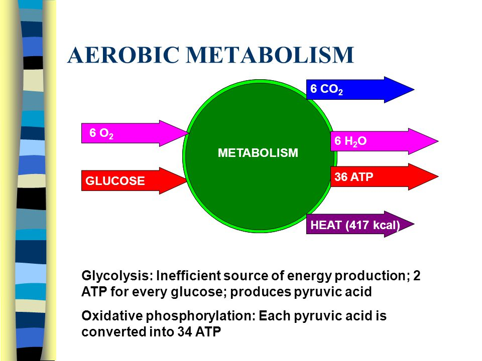 AEROBIC METABOLISM 6 O 2 GLUCOSE METABOLISM 6 CO 2 6 H 2 O 36 ATP HEAT (417 kcal) Glycolysis: Inefficient source of energy production; 2 ATP for every glucose; produces pyruvic acid Oxidative phosphorylation: Each pyruvic acid is converted into 34 ATP