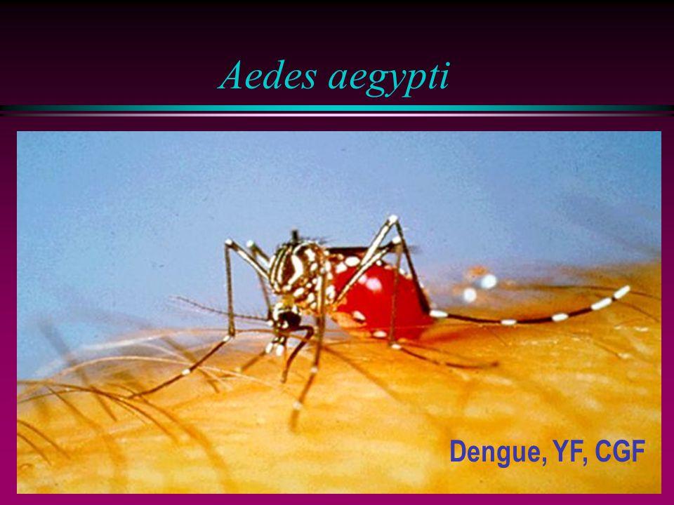 Aedes aegypti Dengue, YF, CGF