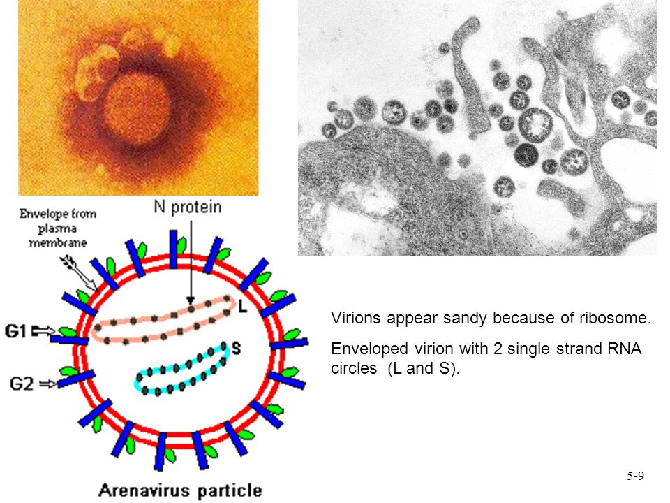 Virions appear sandy because of ribosome. Enveloped virion with 2 single strand RNA circles (L and S). 5-9