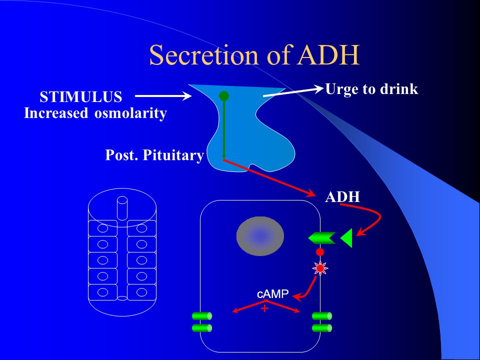 Retention of Water is controlled by ADH: –Anti Diuretic Hormone –ADH Release Is Controlled By: Decrease in Blood Volume Decrease in Blood Pressure Inc