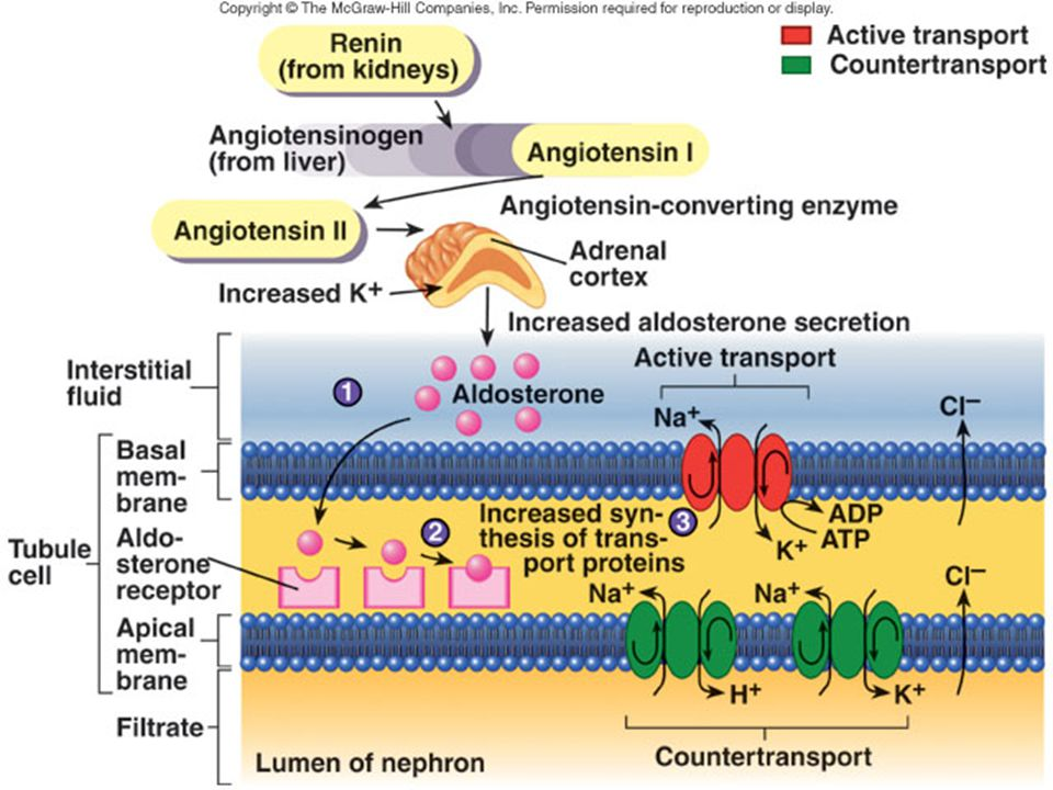 Effect of Aldeosterone: The primary site of aldosterone action is on the principal cells of the cortical collecting duct. The net effect of aldosteron