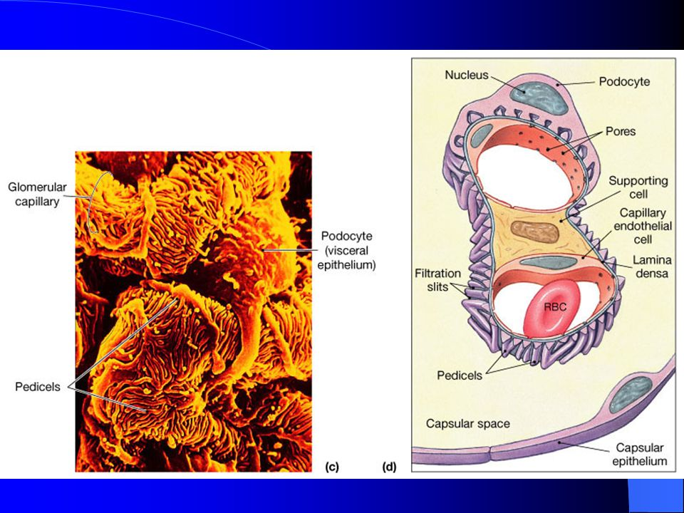 Filtration Membrane –One layer of glomerular capillary cells –Basement membrane(lamina densa) –One layer of cells in Bowman ' s capsule: Podocytes hav