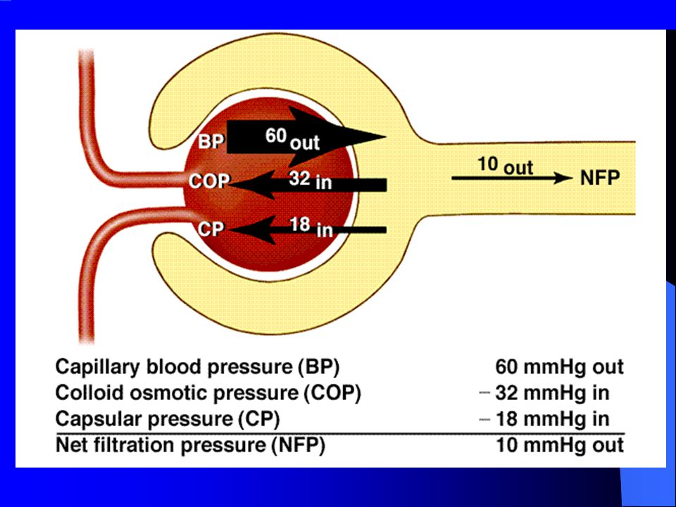 Glomerular filtration Mechanism: Bulk flow Direction of movement : From glomerular capillaries to capsule space Driving force: Pressure gradient (net