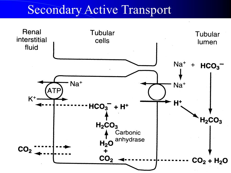 3. Hydrogen Secretion and Bicarbonate Reabsorption. (1)Hydrogen secretion through secondary Active Transport. Mainly at the proximal tubules, loop of