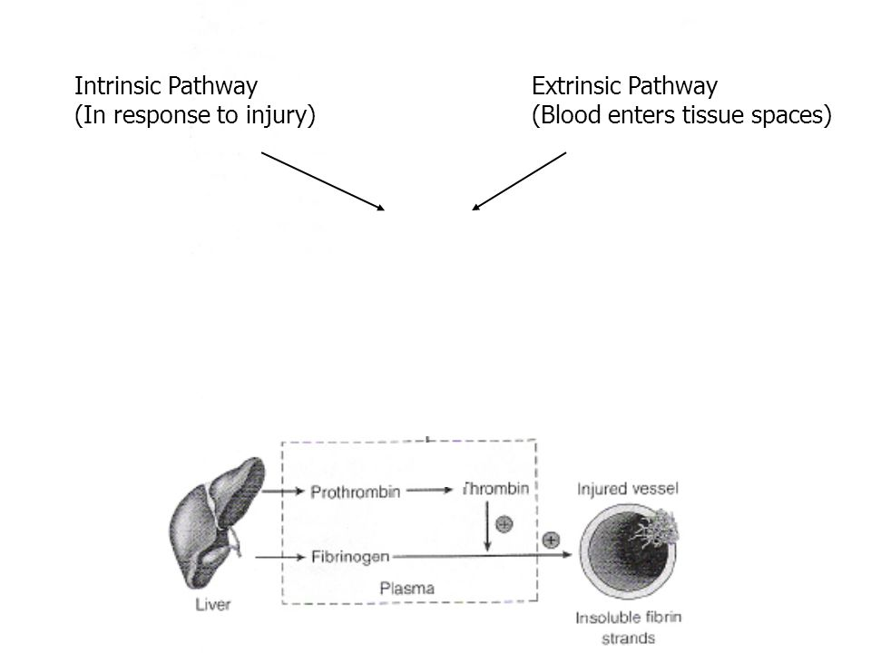(Factor Xa) Intrinsic Pathway (In response to injury) Extrinsic Pathway (Blood enters tissue spaces)