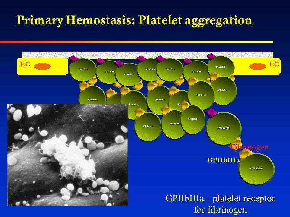 Primary Hemostasis: Platelet aggregation EC GPIIbIIIa Fibrinogen GPIIbIIIa – platelet receptor for fibrinogen